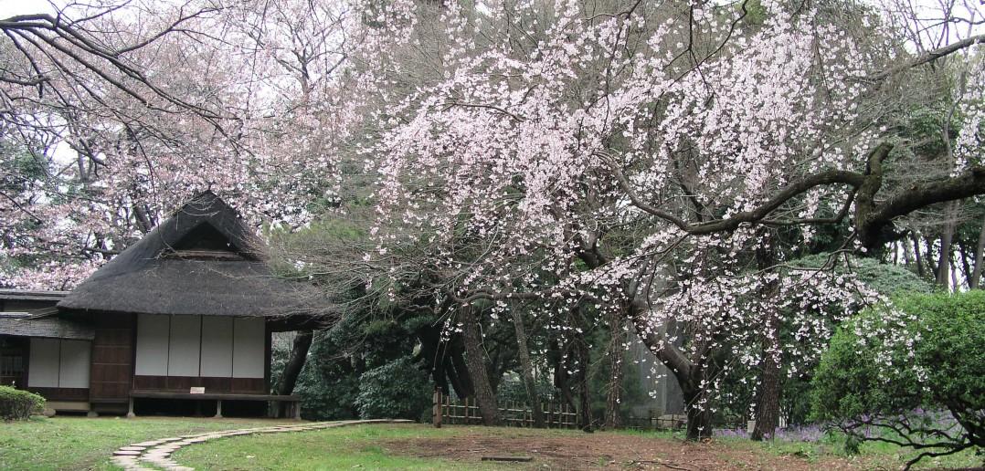 O-hanami au Musée National de Tokyo (article by amuzen)