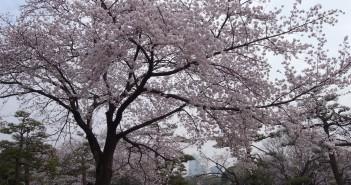 O-hanami au crepuscule dans le jardin Hamarikyu 2016 (article by amuzen)
