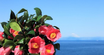 Izu Oshima Camellia Festival 2017 (article d'amuzen)
