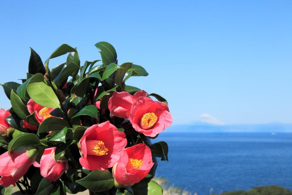 izu oshima camélia fleur