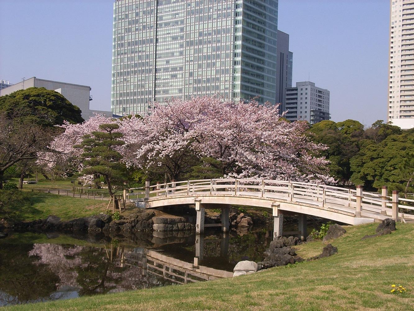 Fleurs de cerisier au Jardin de Hama-rikyu (article d'amuzen)