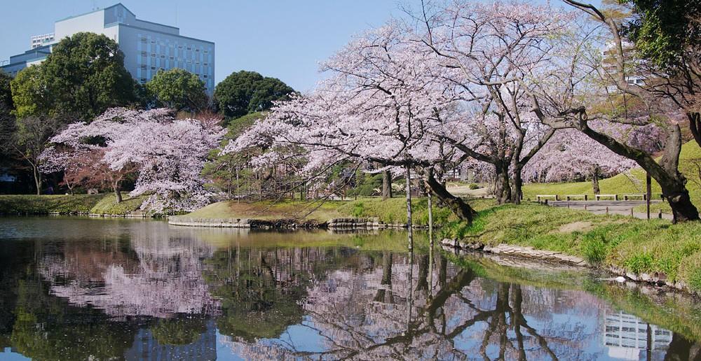 Floraison des cerisiers 2020 au Jardin de Koishikawa Korakuen