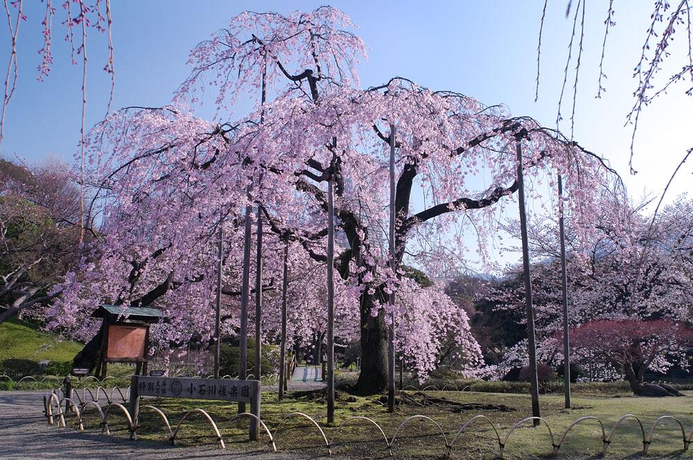 Floraison des cerisiers 2017 au Jardin de Koishikawa Korakuen (article d'amuzen)