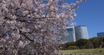 « Fleurs de cerisiers au Jardin de Hama-rikyu 2020 »
