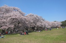 Floraison des cerisiers 2020 au Parc Koganei
