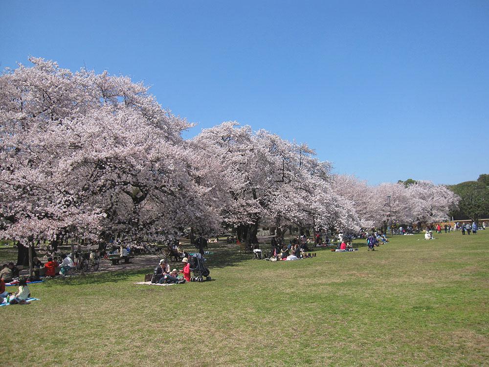 Floraison des 1.700 cerisiers 2017 – Parc de Koganei (article d'amuzen)