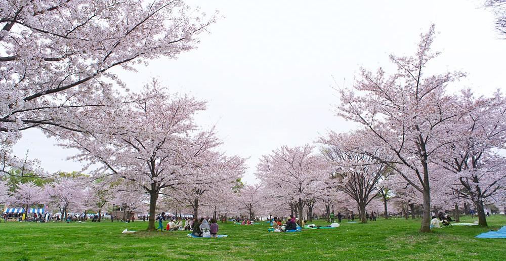 Les 1000 cerisiers du parc Toneri 2020