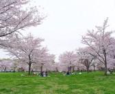 O-hanami 2017 : les 1000 cerisiers du parc Toneri