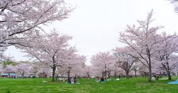 O-hanami 2017 : les 1000 cerisiers du parc Toneri (article d'amuzen)