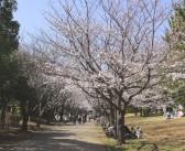 Cerisiers en fleurs 2017 au parc Kasai Rinkai