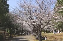 Cerisiers en fleurs 2017 au parc Kasai Rinkai (article d'amuzen)