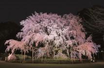 Éclairage du grand cerisier pleureur de Rikugi-en (article d'amuzen)