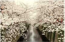 cerisiers rivière méguro 2017