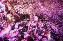amuzen « Fleurs de cerisier le long de la rivière Meguro »