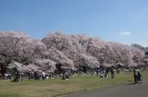 amuzen « Floraison des 1 700 cerisiers 2018 au Parc Koganei »
