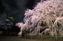 amuzen « Éclairage du grand cerisier pleureur de Rikugi-en »