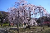 amuzen « Floraison des cerisiers 2018 au Jardin de Koishikawa Korakuen »