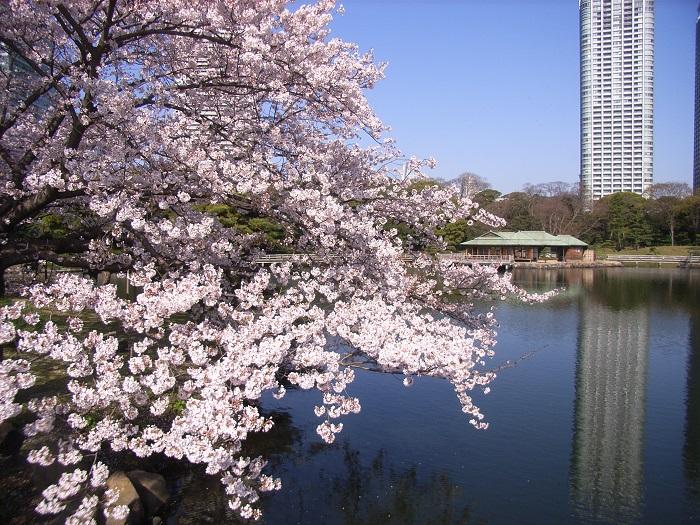 amuzen « Fleurs de cerisiers au Jardin de Hama-rikyu »