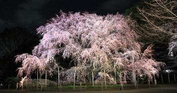 Floraison des cerisiers au Jardin de Rikugi-en 2019