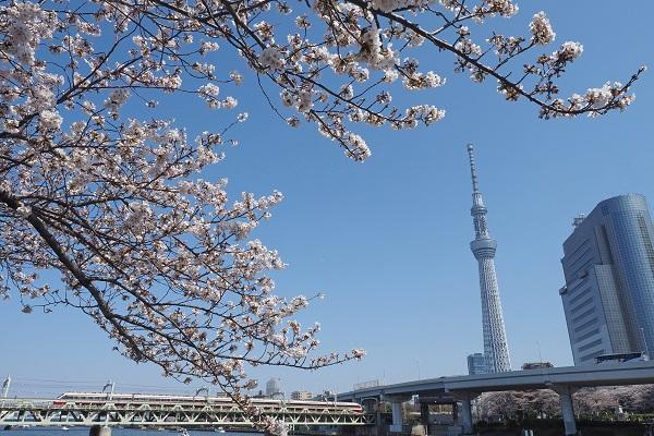 Fleurs de cerisier 2019 au parc Sumida
