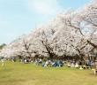 Floraison des cerisiers 2019 au Parc Koganei