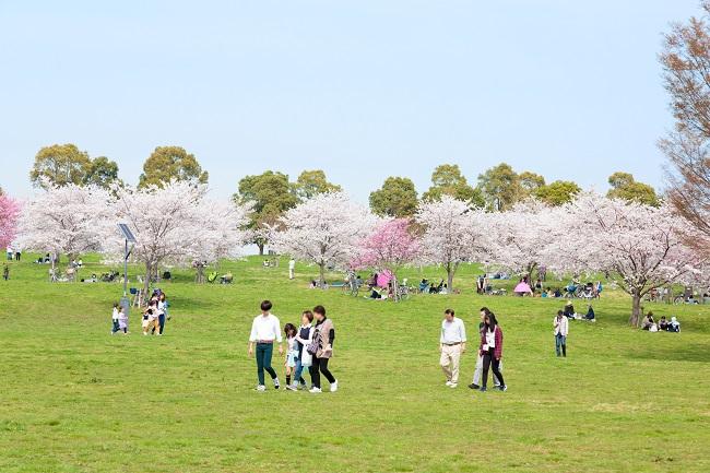 Les 1000 cerisiers du parc Toneri 2019